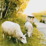 Origineel idee: geef een schapenvacht cadeau
